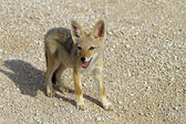 Black-backed jackal baby — Stock Photo