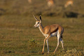 Young Springbok — Stock Photo
