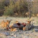 Lion cubs — Stock Photo #9107981