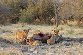 Lion cubs — Stock Photo