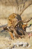 Lioness with Kudu carcass — Stock Photo