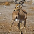 Black-faced impala — Stockfoto #9179940