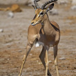 Foto de Stock  : Black-faced impala
