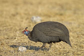 Guinea-fowl — Stock Photo