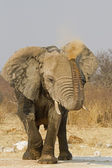 Elephant blowing red dust — Stock Photo