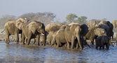 一群大象在水坑 — 图库照片
