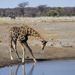 Giraffe at waterhole — Stock Photo