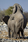 Elephants mating — Stock Photo