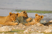 Three Lion cubs — Stock Photo