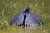 Black heron(Egret) — Stock Photo