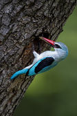 Woodland Kingfisher — Stock Photo