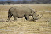Black Rhinocerus — Stock Photo