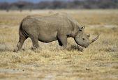 Black Rhinocerus — Stock Photo