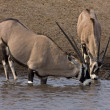 Gemsbok; oryx gazella - Stock Photo