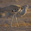Kori bustard — Stock Photo #9317353