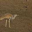 Kori bustard - Stock Photo