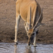 Eland cow - Stock Photo
