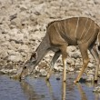 Greater Kudu female - Stock Photo