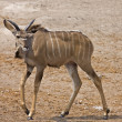 Young Greater Kudu male — Stock Photo #9318363