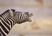 Zebra showing teeth — Stock Photo