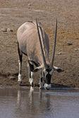 Gemsbok; oryx gazella — Stock Photo