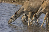 Greater Kudu female — Stock Photo