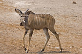 Young Greater Kudu male — Stock Photo