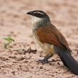 White browed coucal - Stock Photo