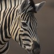 Zebra Portrait — Stock Photo #9535385