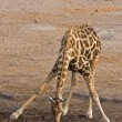Giraffe — Stock Photo #9535904