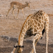 Giraffe — Stock Photo #9536039