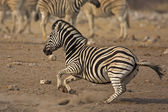 Running Zebra — Stock Photo