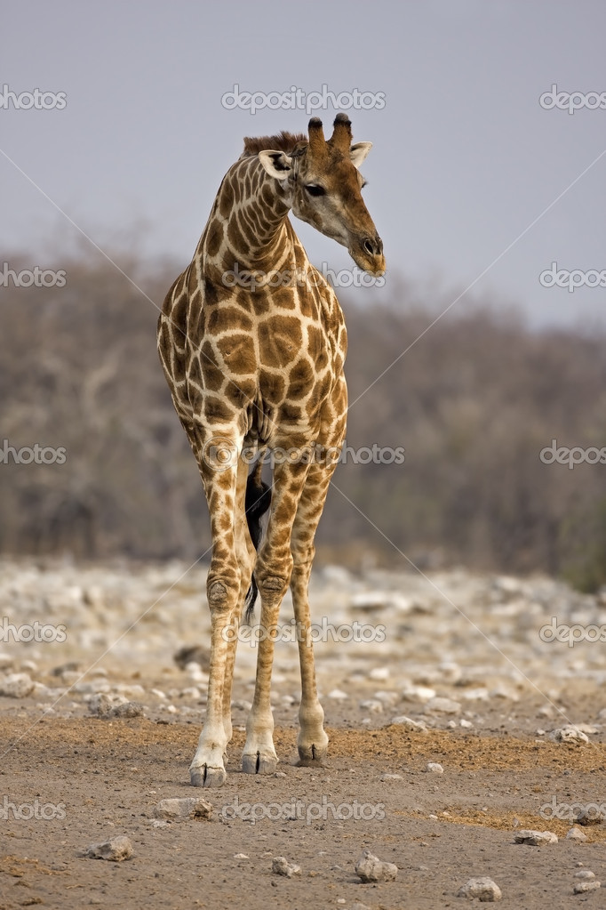 Giraffe standing in rocky field with lowered neck; Giraffa Camelopardis — Stock Photo #9535591