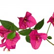 Purple bougainvillea — Stock Photo