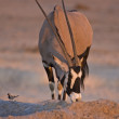 Stock Photo: Oryx Gazella