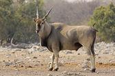 Eland bull — Stock Photo