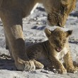 Stock Photo: Lioness with irritated cub