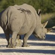 Stock Photo: White Rhinocerus