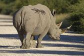 White Rhinocerus — Stock Photo