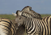 Two Zebras — Stock Photo