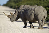 White rhinocerus — Stock Photo