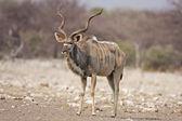 Male Kudu — Stock Photo
