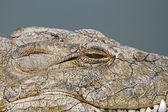 Crocodile — Stockfoto