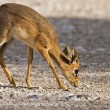 Stock Photo: Kirk's Dik-Dik
