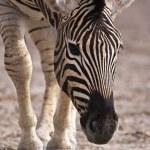 Burchells zebra — Stock Photo #9794447