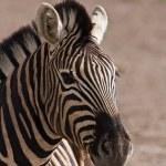 Burchells zebra — Stock Photo #9794482
