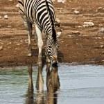 Burchells zebra — Stock Photo #9794544