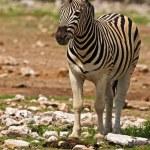 Burchells zebra — Stock Photo #9794592