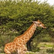 Giraffe — Stock Photo #9794815