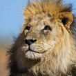 Portrait of male lion — Stock Photo